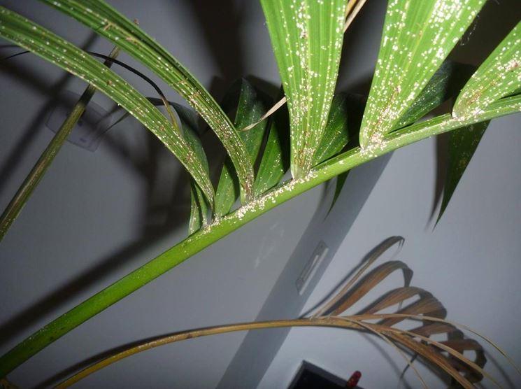 Cocciniglie su foglia di palma