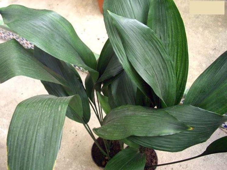 piante verdi da appartamento piante appartamento come