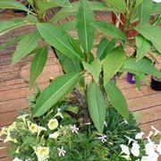 Un esempio di pianta di Plumeria da appartamento tenuta in un vaso
