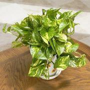Un esempio di pianta di Pothos da appartamento tenuta in un vaso