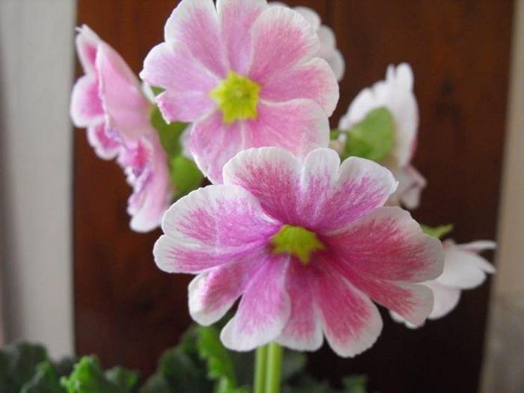 Fiori rosa e bianchi di primula obconica