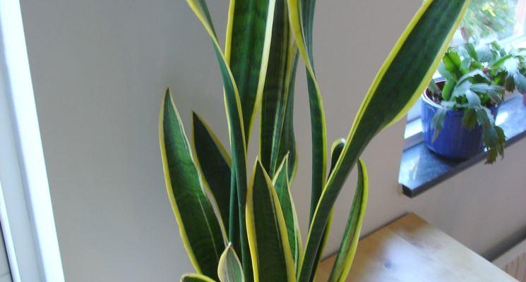 Un esempio di pianta di Sanseveria da appartamento tenuta in un vaso