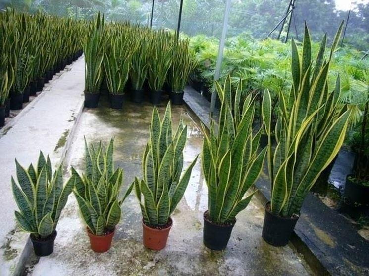 Sanseveria piante appartamento sanseveria pianta grassa for Bouganville in vaso prezzo