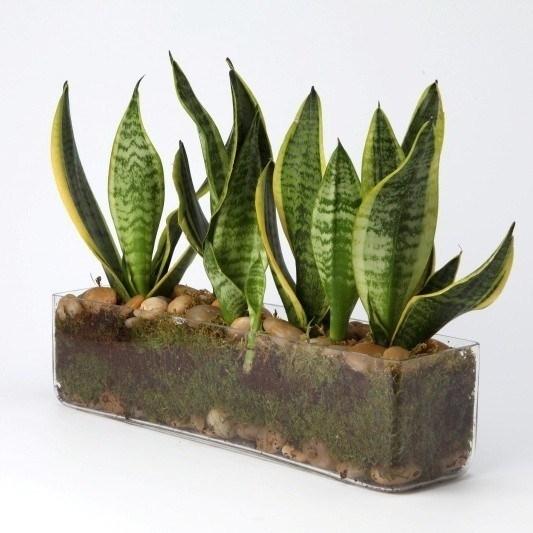 Sanseveria piante appartamento sanseveria pianta grassa for Piante che amano il sole