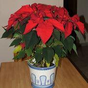 Stella di Natale fiorita su un tavolo