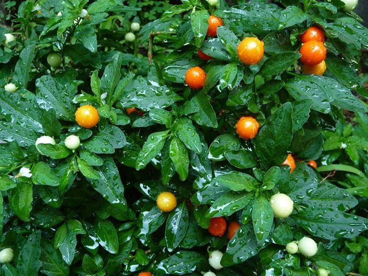 Solanum capsicastrum giardino