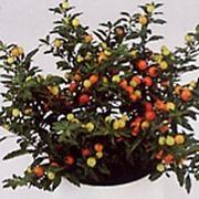 solanum pianta
