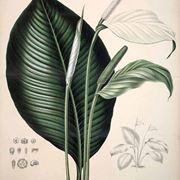 Disegno botanico dello spathiphyllum