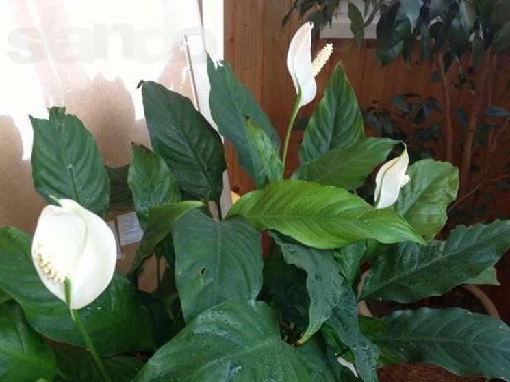 Pianta di spatifillo fiorita