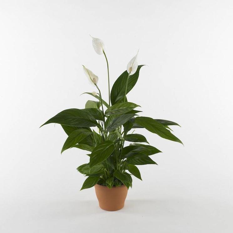 Spatifillo piante appartamento caratteristiche dello - Piante interno poca luce ...