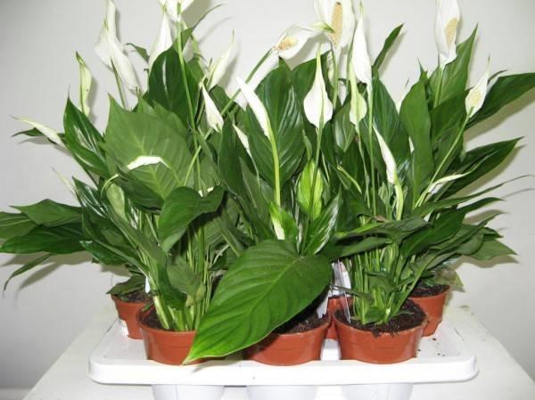 Spatifillo piante appartamento caratteristiche dello for Spatifillo pianta