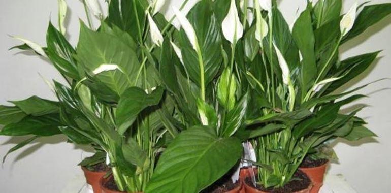 <h6>Spatifillo</h6>Diffusissima nelle case e ricca di particolarit�: � lo spatifillo, la pianta senza fusto, con un'infiorescenza formata da una foglia e foglie che si originano direttamente dal rizoma e assomigliano a cucchiai, tanto da valerle il nome di