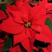 Stella di Natale fiori
