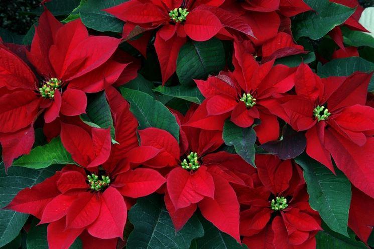 Foto Di Stelle Di Natale.Stella Di Natale Euphorbia Pulcherrima Piante