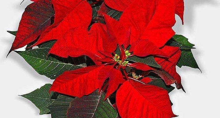 Una stella di Natale
