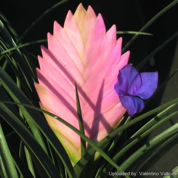 Tillandsia cynea piante appartamento tillandsia cynea for Tillandsia prezzo
