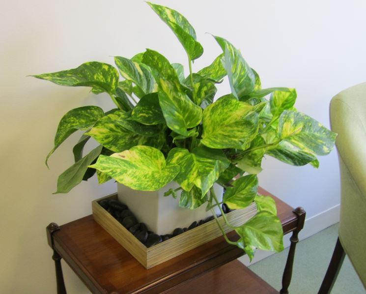 Tipologie di piante da interno piante appartamento for Piante da interno