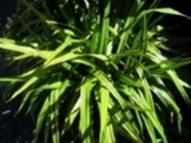 Un esempio di pianta di Tradescantia da appartamento tenuta in un vaso