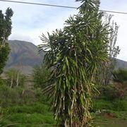 Una dracaena fragrans, conosciuta come tronchetto della felicità