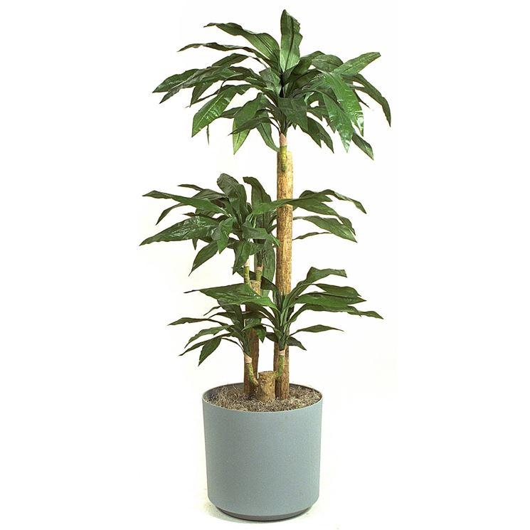 Tronchetto della felicit piante appartamento come for Zamioculcas cura
