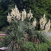 Un esemplare di yucca gloriosa fiorita