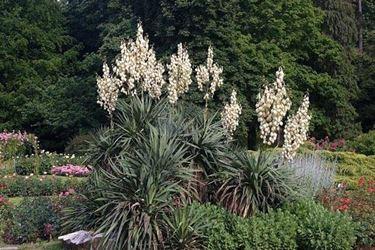 Un esemplare di <em>yucca gloriosa</em> fiorita