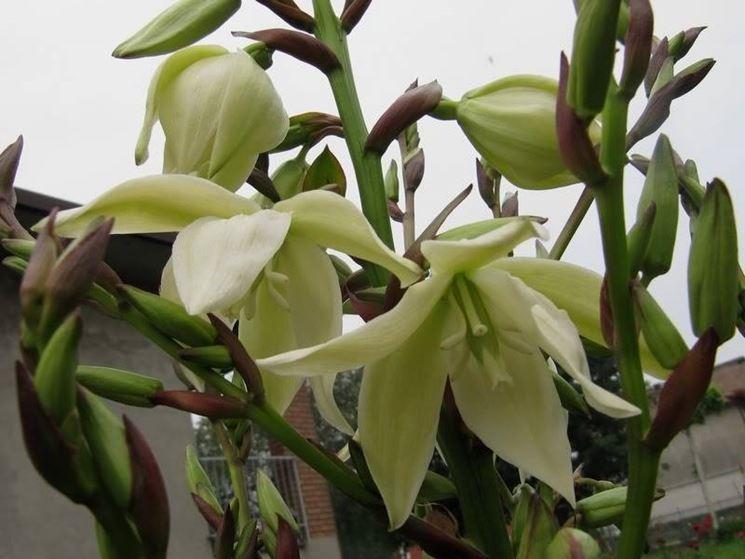 I fiori della yucca gloriosa