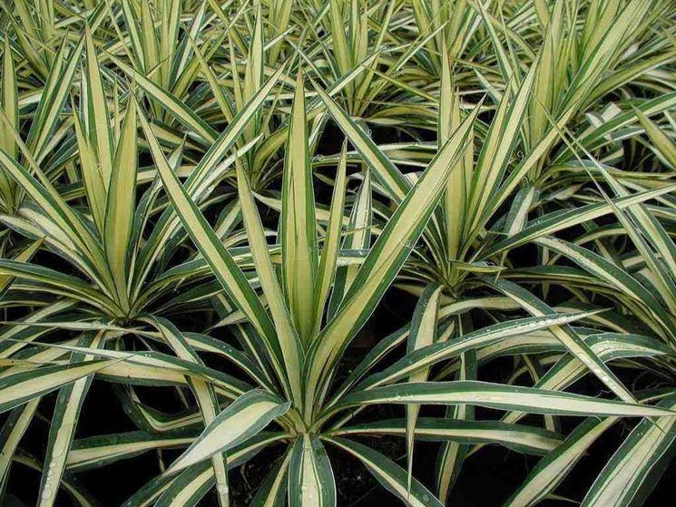 Giovani esemplari di yucca gloriosa