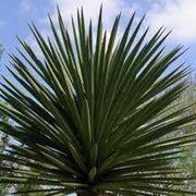 pianta yucca