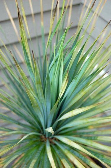 foglie acuminate di colore blu-verde della yucca rostrata