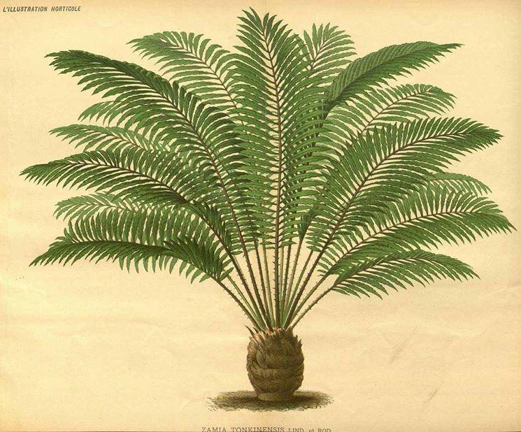 Disegno botanico di zamia tonkinensis