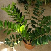 Esemplare di Zamioculcas Zamiifolia