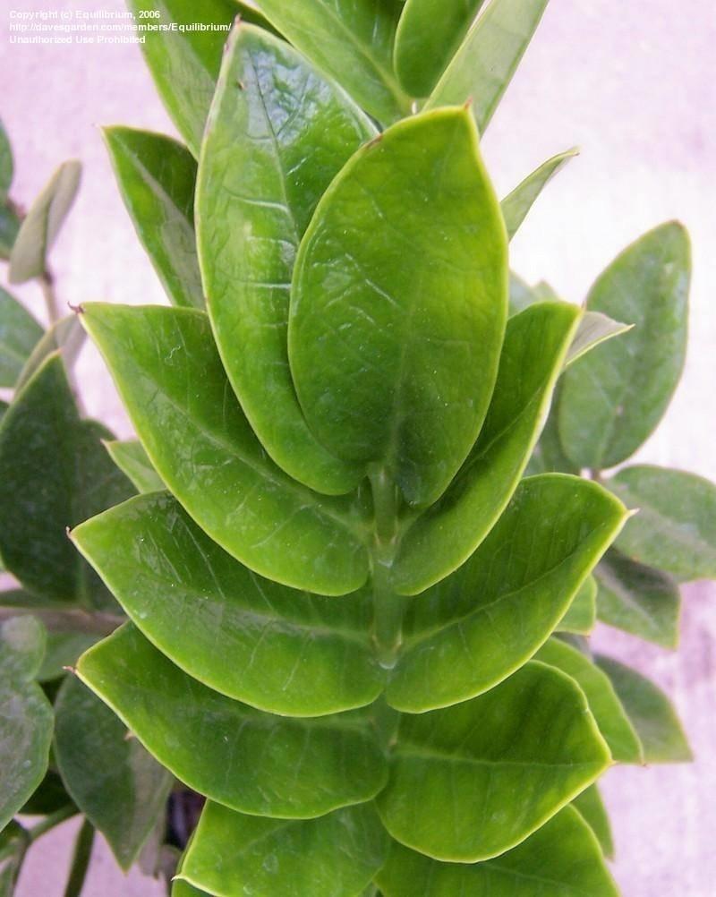 Zamioculcas piante appartamento zamioculcas coltivazione for Zamioculcas cura