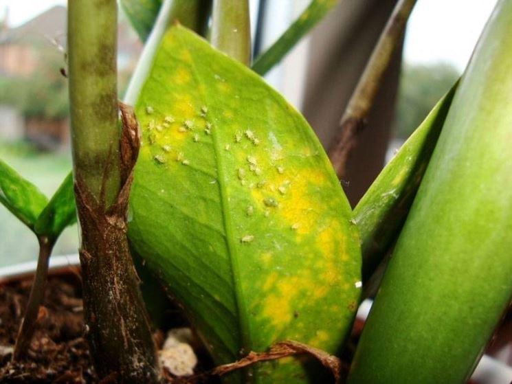 Foglia di Zamioculcas zamiifolia attaccata dagli afidi