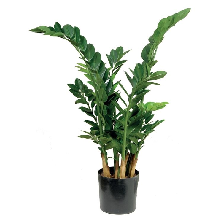 pianta bella di zamioculcas
