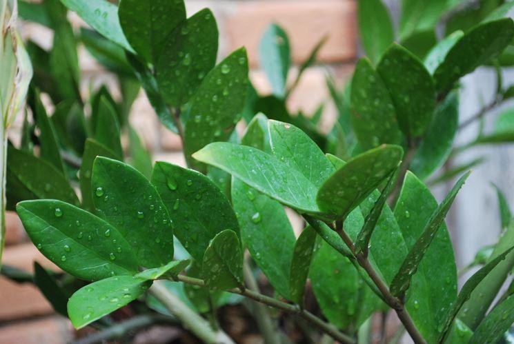 pianta zanioculcas