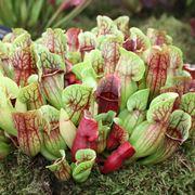 coltivare piante carnivore