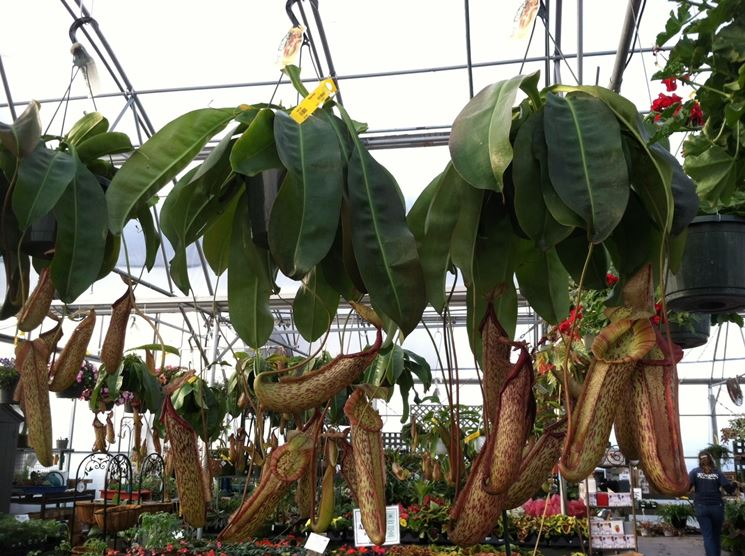 piante carnivore giganti
