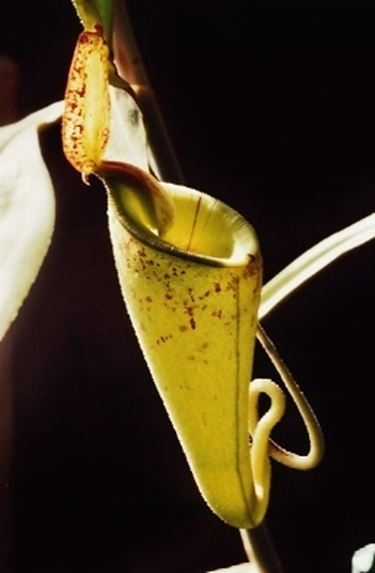 nephentes hookeriana2