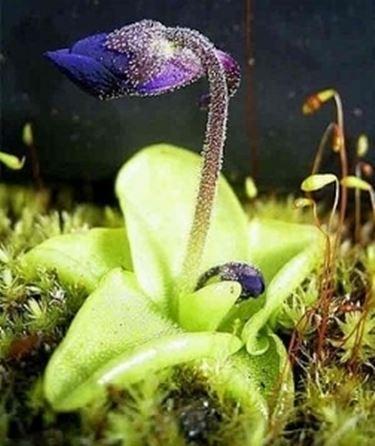 pinguicola grandiflora