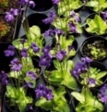 pinguicola grandiflora2