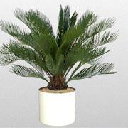 pianta di cycas