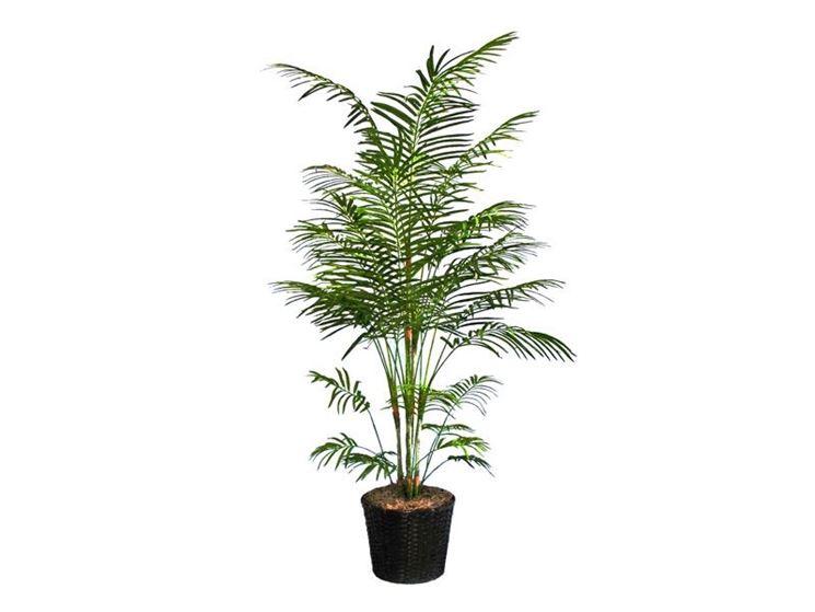 pianta di areca