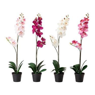 Quattro i colori in cui sono disponibili queste slanciate (70 cm) e delicate Orchidee.