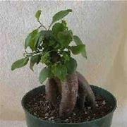 bonsai ikea