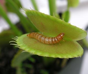 piante carnivore