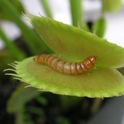 pianta carnivora specie rappresentative