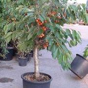 cerimonia frutto