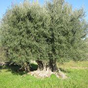 Piante da giardino for Conifere da giardino