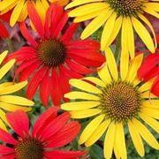 fiori perenni